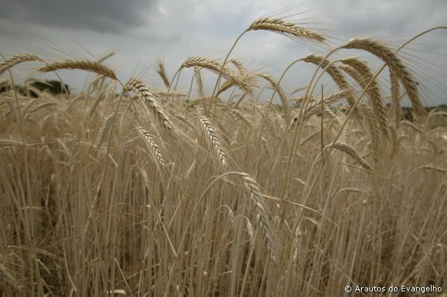 História ou realidade? O grão de trigo…