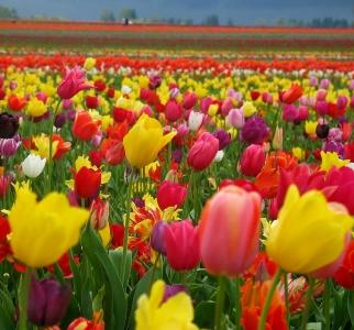 As flores falantes