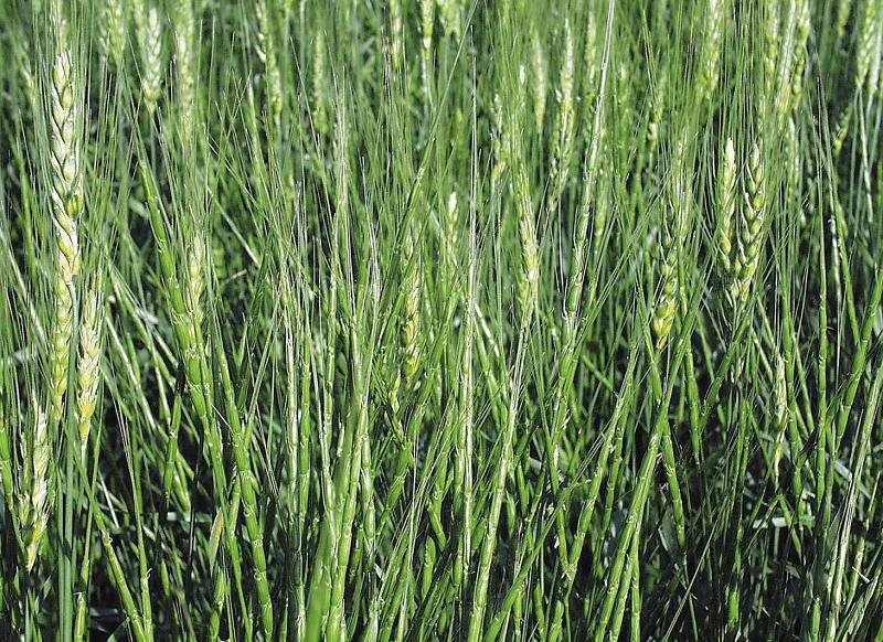 Grano e zizzania mescolati in una piantagione del nord americana
