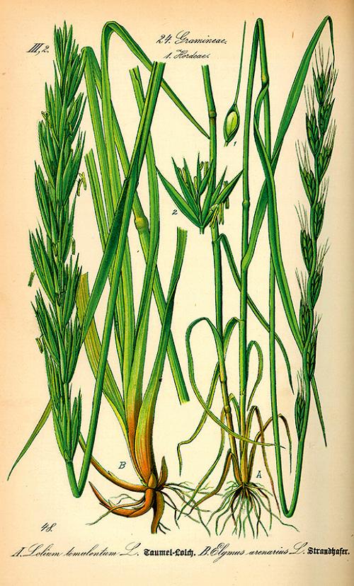 Scheda botanica del Lolium temulentum