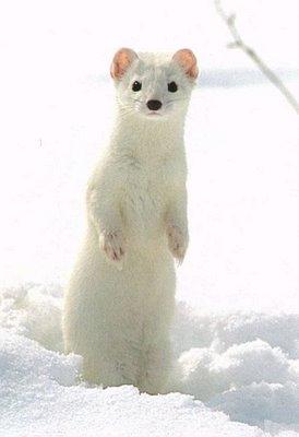 arminho Inverno