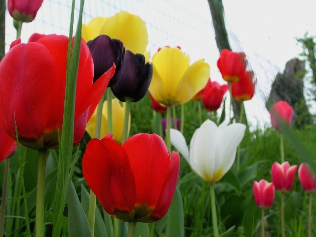 Tulpe_Tulipa_Tulip_Tuplipe_ Tulipanes silvestres-Apeninos de Emilia Romagna-lampsahde_Italia-GAz-Tulipa_DSCN5056