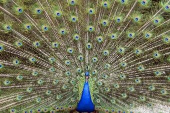 Enquete: pavão ou cisne?