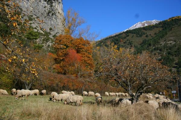 France Sheep