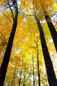 Floresta_Boreal_Forest_Wald_automn_hervst_automno_Canada_USA_Bonitas_arvores_trees_Tronco_natureza