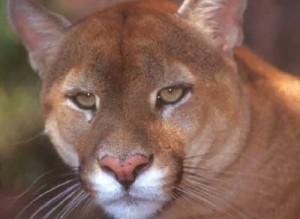 Foto Onça Vermelha, também chamada de puma, suçuarana, cougar, jaguaruna, leão-baio, onça-parda e leão-da-montanha
